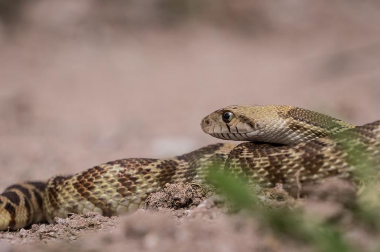 Eine träge Schlange die sich auf dem Weg an die Sonne gelegt hat