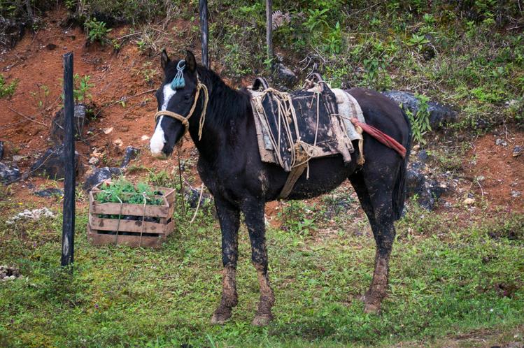 Pferd neben einem Maisfeld
